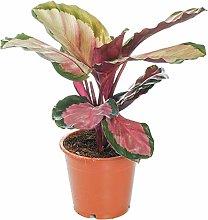 Calathea roseopicta Rosy   Pianta da Interni
