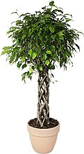 CASITA HERMOSA PIANTE Ficus 'Exotica' a