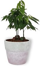 Castanospermum Australe - Paraspigoli ornamentali