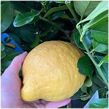 Cedro Maxima o Cedro Gigante (Citrus medica