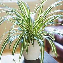 Chlorophytum Variegatum di Alta Qualità | Vendita