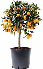 Citrus Kumquat - Altezza 75 - Diametro vaso 22