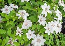 Clematis, Clematis fiori, rampicante pianta