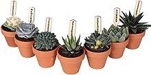Collezione di 7 succulente mini in vaso terracotta