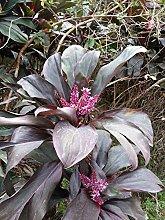 Cordyline fruticosa - Ti Plant - 10 Semi Freschi,