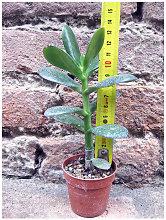 Crassula portulacea 10 cm, cactus, pianta grassa