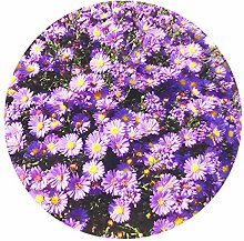Crisantemo Cuore Seme di crisantemo Crisantemo