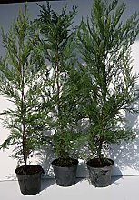Cupressociparis Leylandii pianta da siepe pinetto