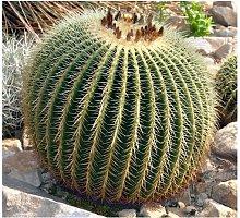 Cuscino della Suocera 'Echinocactus