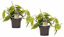 Decorum Duo Philodendron Scandens - Altezza 15 -