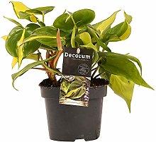 Decorum Philodendron Brasile - Altezza 15 -