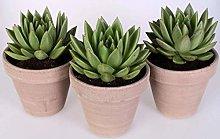 Echeveria 'Lemaire' 3 piante in vaso