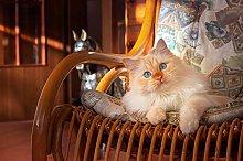 ELEVENFF Pittura Diamante 5D Gatti Ginger Color
