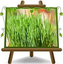 Erba Cipollina - Piante Aromatiche su vaso da 14 cm