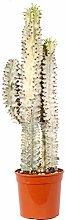 Euforbia cactus - Altezza 80 - Diametro vaso 30