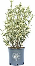 Euonymus japonicus Bravo, Vannucci Piante, Evonimo