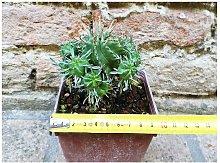 Euphorbia pillansii 8 cm, cactus, pianta grassa