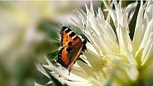 Farfalla Sul Crisantemo 35 Pezzi Puzzle In Legno