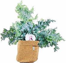 Felce da Botanicly – Felce Blue Star in cachepot
