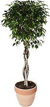Ficus 'Exotica' intrecciato in vaso