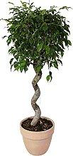 Ficus 'Exotica' spirale in vaso terracotta