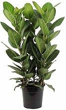 Ficus Audrey - Altezza 90 - Diametro vaso 27