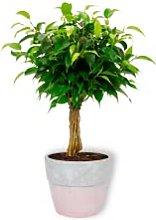 Ficus Babilatos - Pianta da camera in vaso di