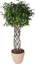 Ficus benjiamina 'Exotica' spalliera in