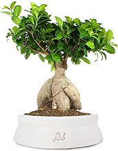 Ficus Ginseng Bonsai Altezza 45 cm, Pianta Vera,