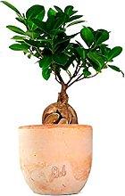 Ficus Ginseng Mini Altezza 36 cm, Pianta Vera,