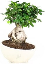 Ficus ginseng vaso ciotola in terracotta