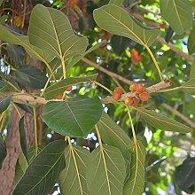 Ficus religiosa Sacra Fig Tree semi ornamentali