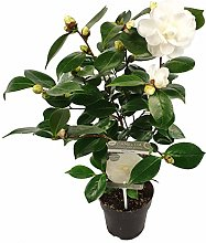 Fiore da Botanicly – Camellia Nuccio's Gem