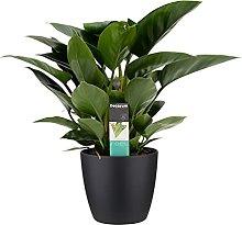 Fiore da Botanicly – Philodendron Congo Apple in