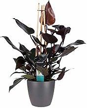 Fiore da Botanicly – Philodendron Ruby in vaso