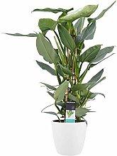 Fiore da Botanicly – Philodendron Silver Sword