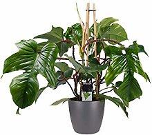 Fiore da Botanicly – Philodendron squamiferum in