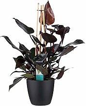 Fiore – Philodendron Ruby in vaso nero come set