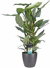 Fiore – Philodendron Silver Sword in vaso