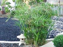 Fresh Umbrella Impianto 100 semi Cyperus