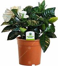 Gardenia Jasminoides - 1 Pianta - Albero Pianta