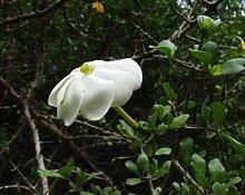 Gardenia volkensii - Transvaal Gardenia - 5 Semi,