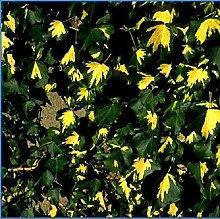 Hedera Helix 'Goldheart' - Edera 50-60 cm