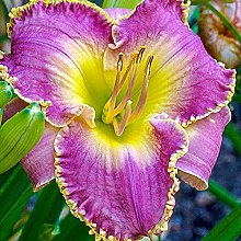 Hemerocallis bulbi fiori Resistente Decorazioni