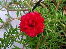 . I Semi di Fiori: Portulaca Mix Giardino Rosso