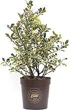 Ilex aquifolium 'Argenteomarginata',