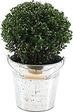 Ilex Crenata | Agrifoglio giapponese con vaso di