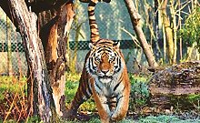 Illustrazione Animale Della Tigre Puzzle In Legno
