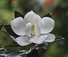 Immergreen Magnolia - Fiori bianchi - Magnolia