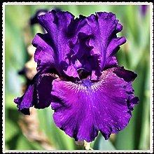 Iris bulbi-Aiuola di fiori in vaso di specie rare